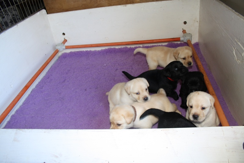 Image Result For Dogs For Sale